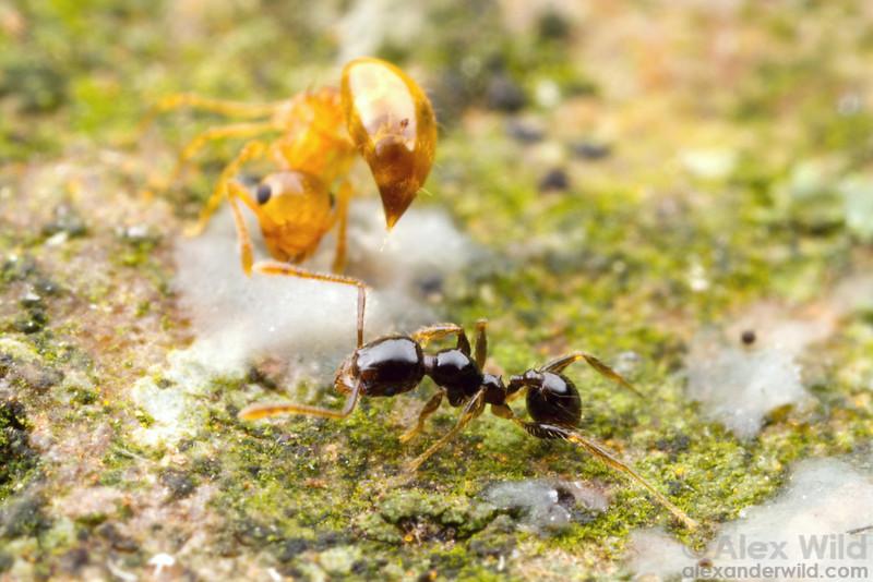 A Crematogaster acrobat ant deters a Pheidole worker.  Kibale forest, Uganda