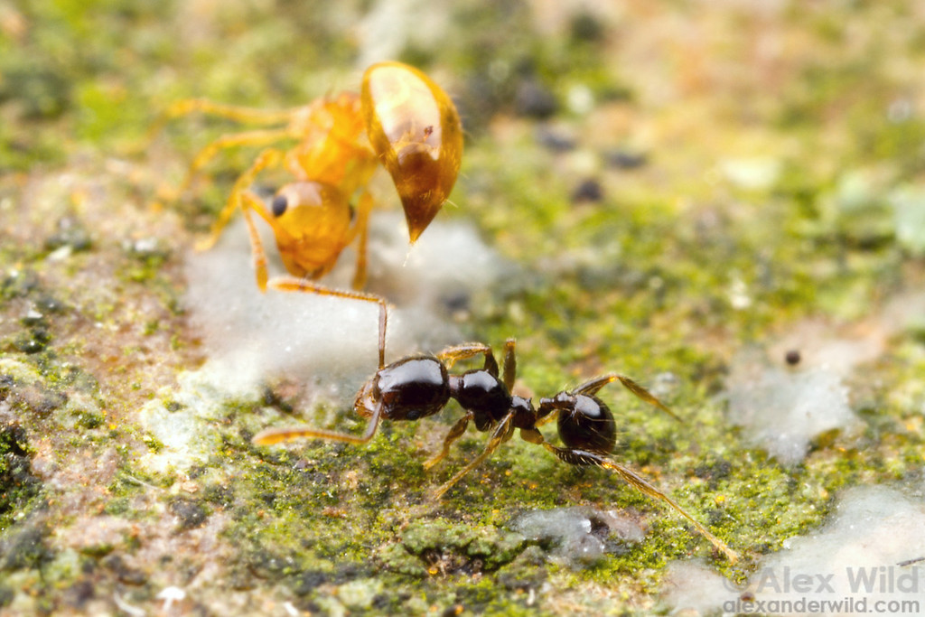 A Crematogaster acrobat ant deters a Pheidole worker.