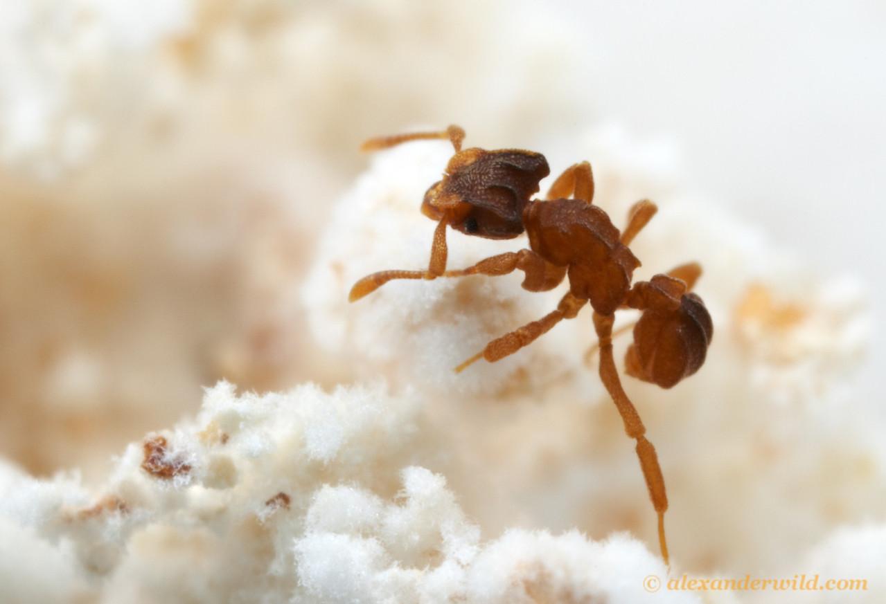 Cyphomyrmex costatus