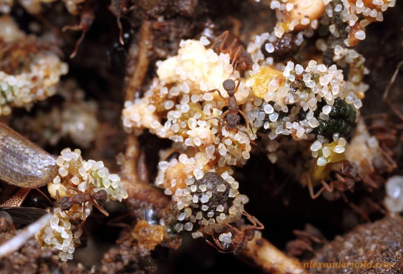 Cyphomyrmex sp.