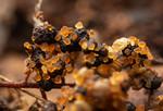 Cyphomyrmex rimosus garden