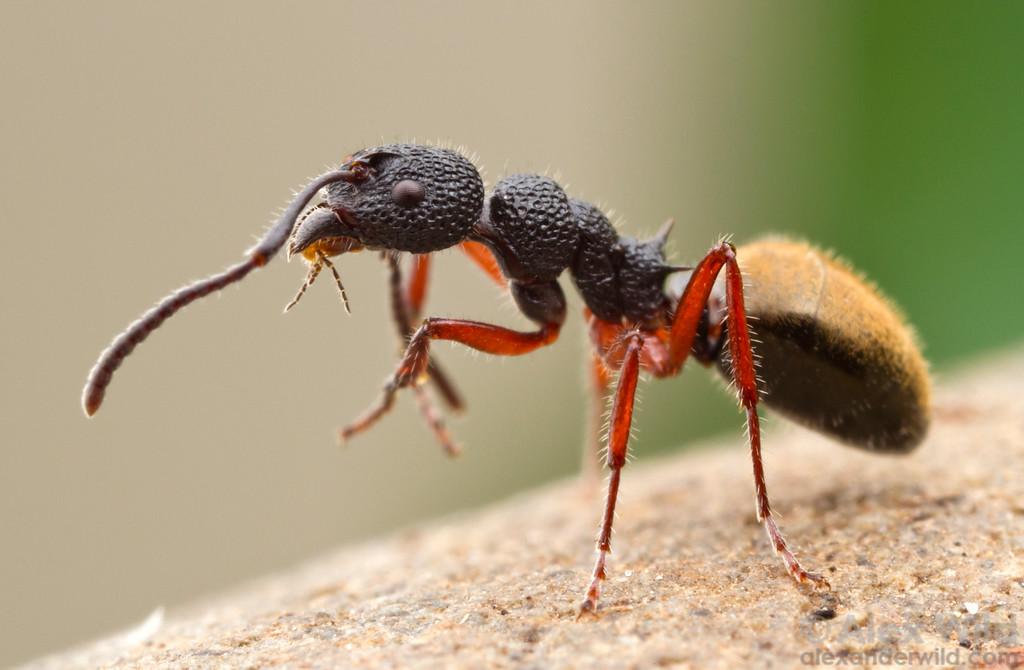 A Dolichoderus scabridus worker ant cleans her antennae.  Harrietville, Victoria, Australia