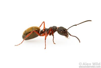Portrait of a Dolichoderus scabridus worker ant.  Harrietville, Victoria, Australia