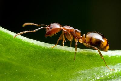 Dolichoderus lutosus