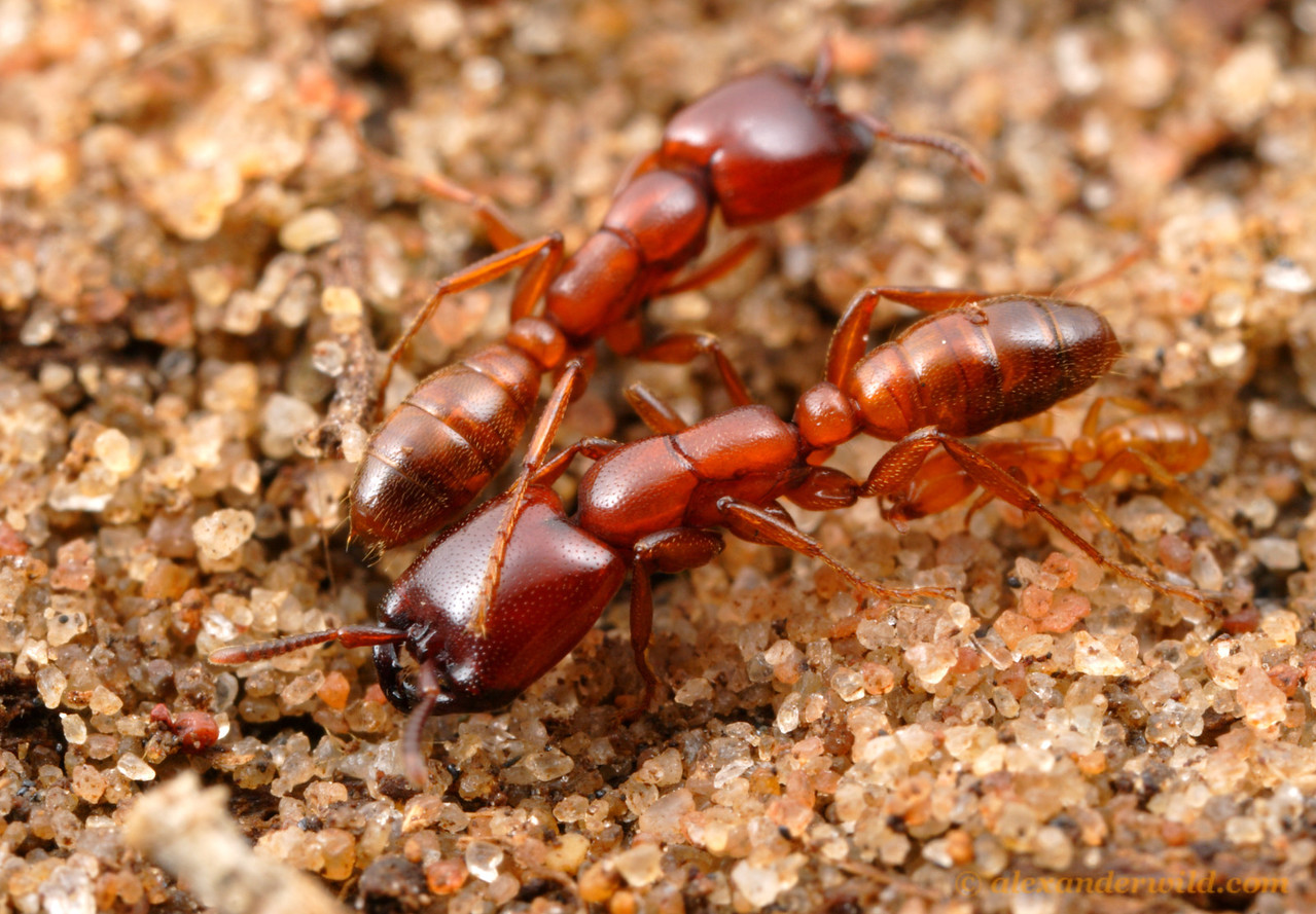 Dorylus helvolus.  Driver ants have lost their eyes over the course of evolution.  These predatory ants navigate instead using their keen senses of touch and smell.  Most Dorylus species are subterranean where eyesight is of limited use.  St. Lucia, KZN, South Africa