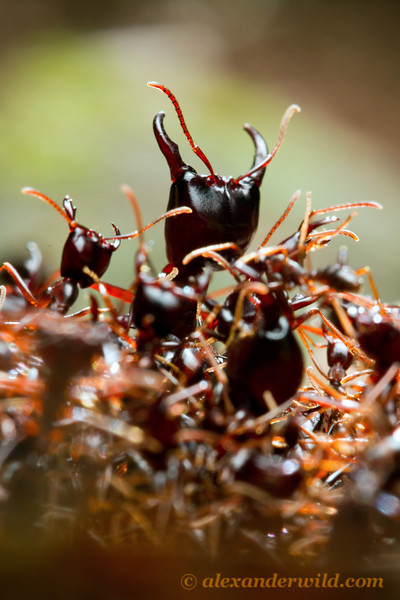 Dorylus driver ants stand guard over a foraging column.  Kibale Forest, Uganda