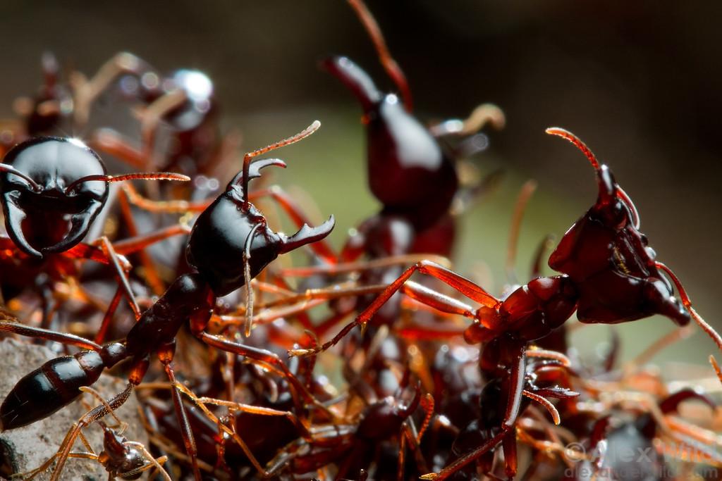 Dorylus driver ants.  Kibale Forest, Uganda