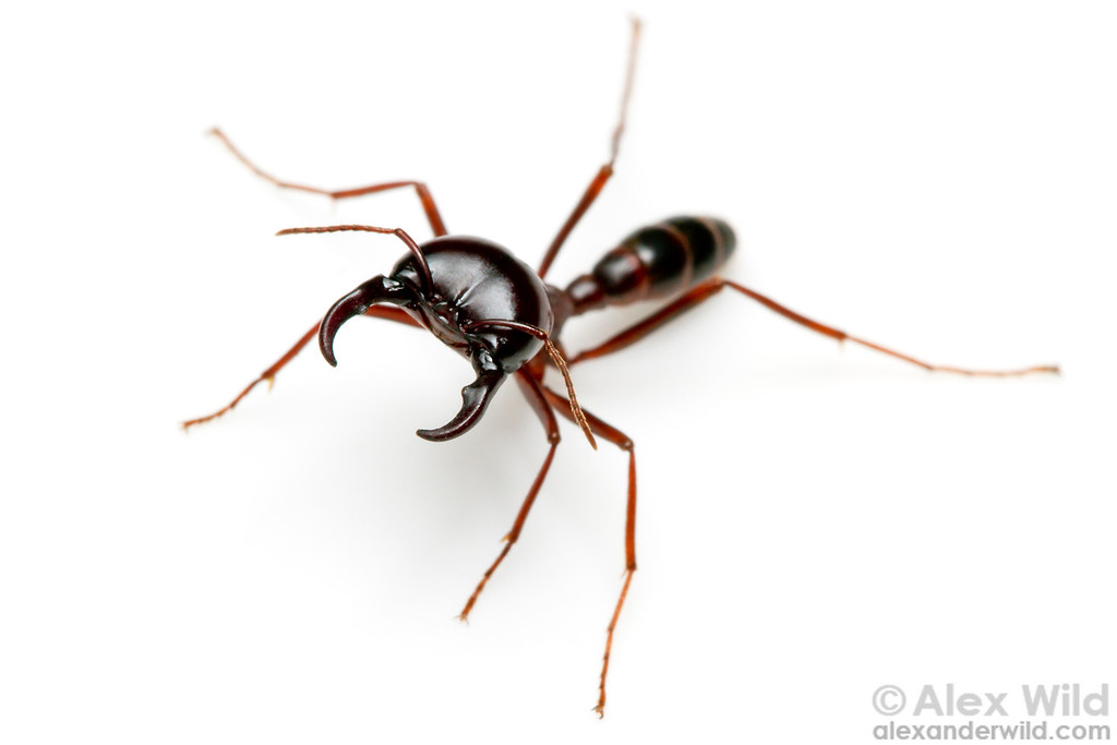 Driver ants (Dorylus subgenus Anomma) are among Africa's most visible insects. Here, a soldier shows off her impressive mandibles.  Kibale Forest, Uganda