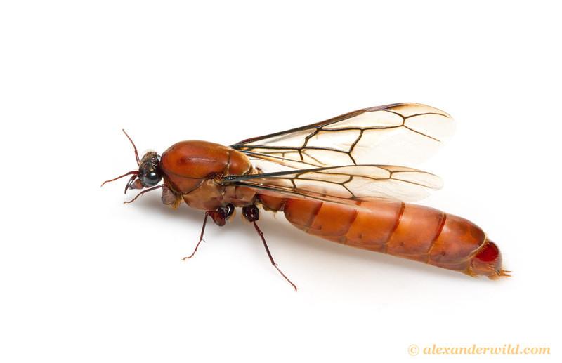 """Masculino Dorylus às vezes são chamados de """"salsicha voa"""" para a sua forma original.  Kibale Forest, Uganda"""
