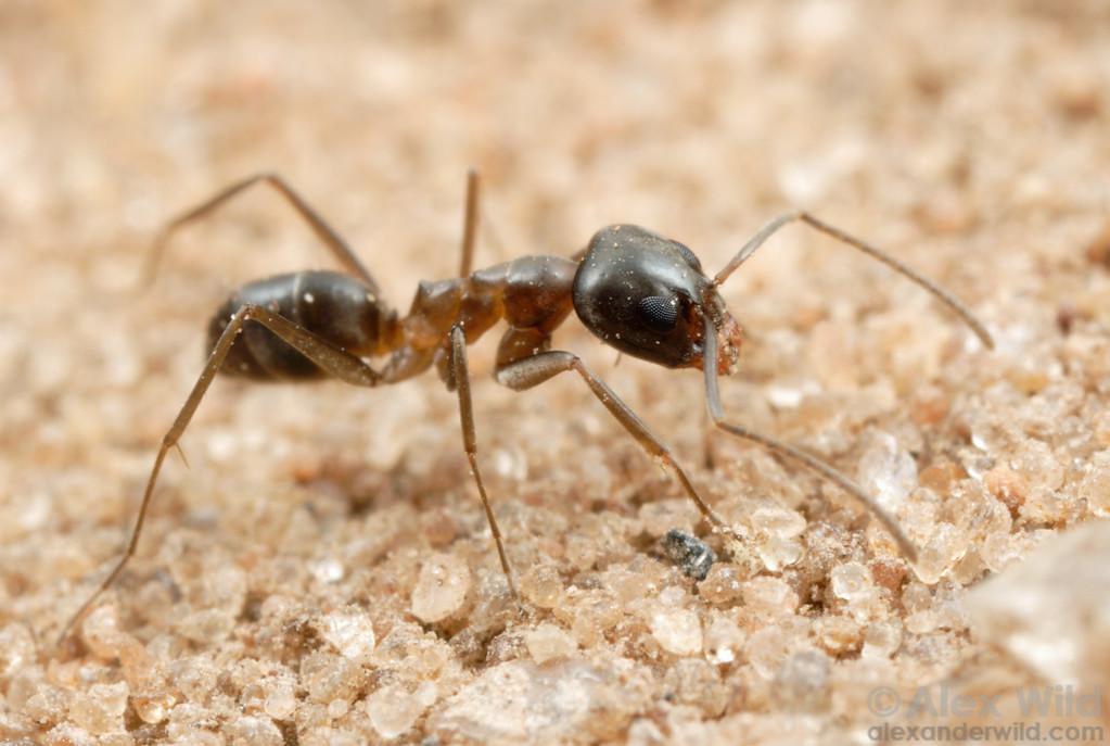 Dorymyrmex sp.