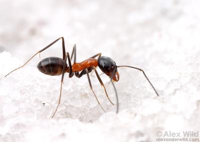 Dorymyrmex flavopectus