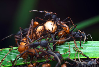Colonies of the giant neotropical army ant Eciton burchelli have workers of many different sizes specialized for different tasks.  The large, light-colored ant at center is a soldier that performs defensive functions, the smaller ants are minor workers that specialize in prey capture.  Captive colony at the California Academy of Sciences