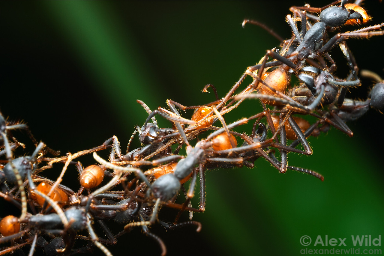 Eciton burchelli army ants can form living bridges with their bodies.  