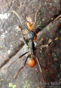 Eciton burchellii media worker carries an ant she has caught.  Maquipucuna reserve, Pichincha, Ecuador