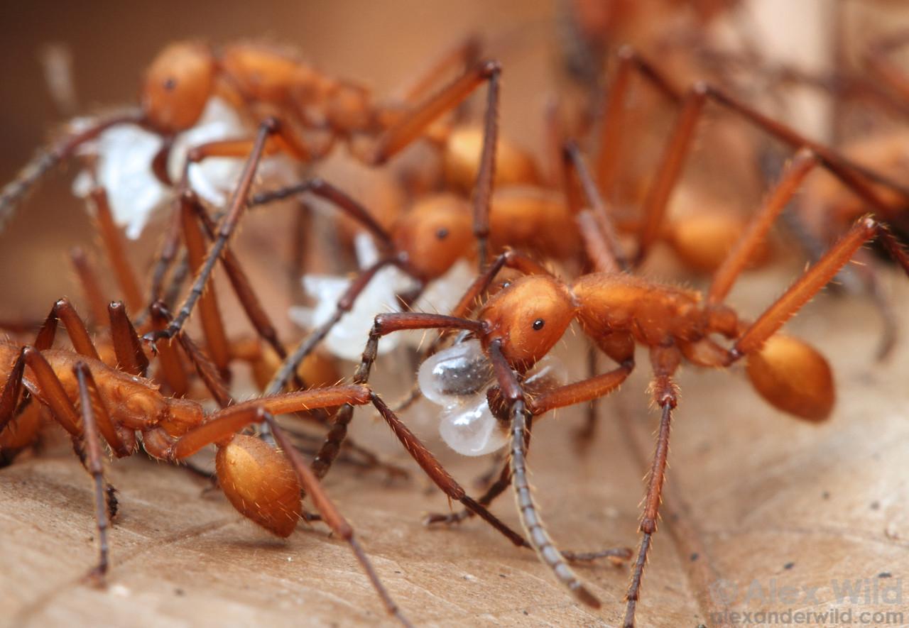 Eciton hamatum army ants carry captured ant brood back from a successful raid.  Jatun Sacha reserve, Napo, Ecuador