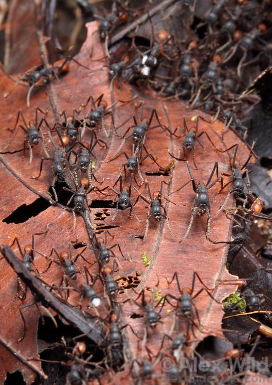 Eciton burchellii  Maquipucuna reserve, Pichincha, Ecuador