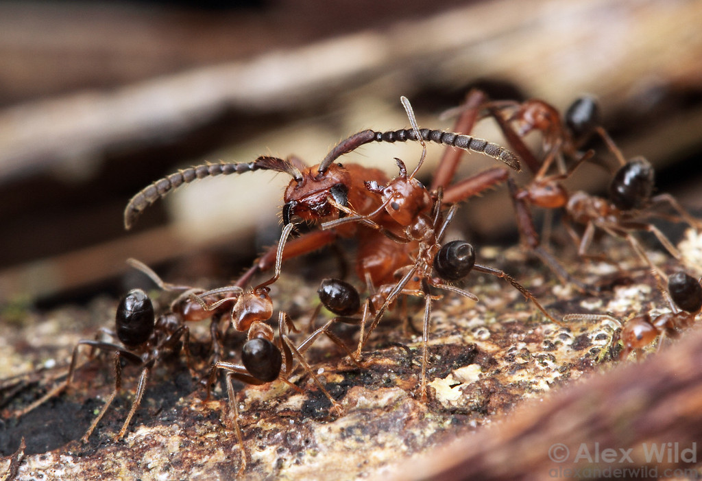 An Eciton hamatum army ant raid breaches the territory of an aggressive Azteca colony, and fighting ensues. Eciton will rob the Azteca brood if given the chance.  Jatun Sacha reserve, Napo, Ecuador