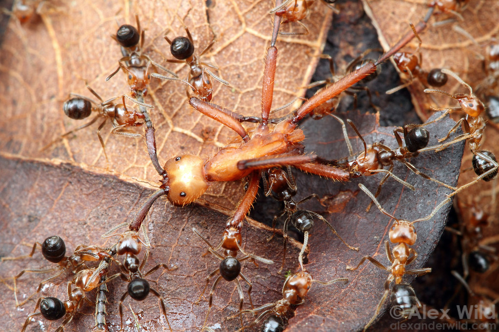 An Eciton hamatum army ant worker is pinned down by fierce little Azteca ants defending their territory.  Jatun Sacha reserve, Napo, Ecuador