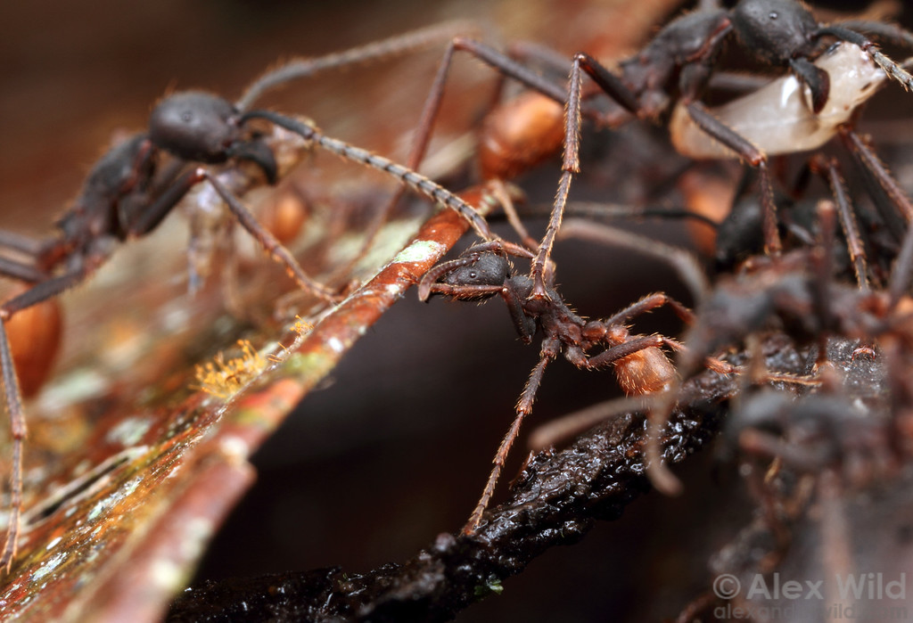 A minor Eciton burchellii army ant worker serves as a stepping stone by sitting in a gap in the trail.  Maquipucuna reserve, Pichincha, Ecuador