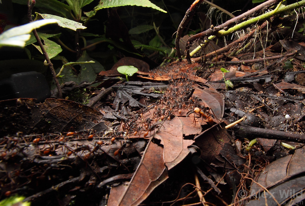 A raiding party of Eciton burchellii army ants streams home towards the bivuoac while a soldier stands guard.  Maquipucuna Reserve, Pichincha, Ecuador