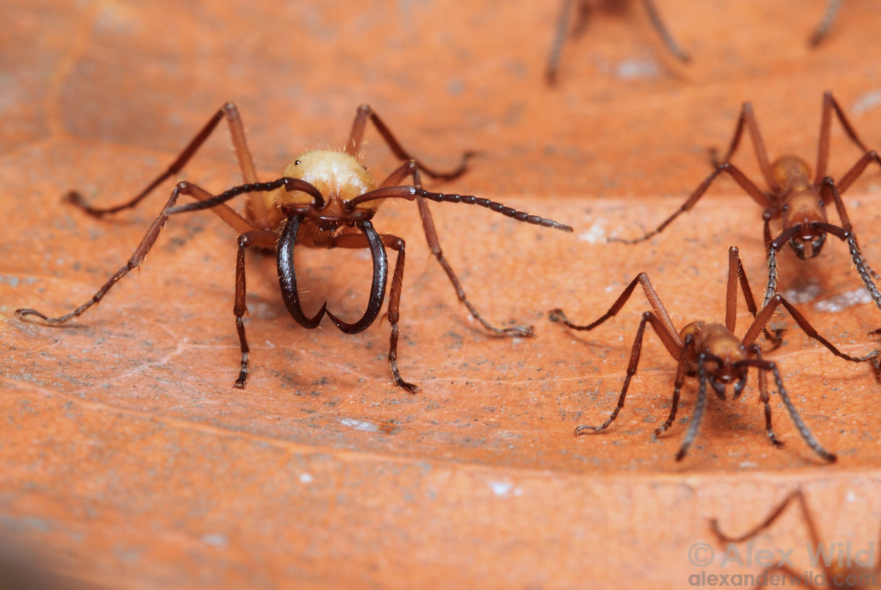 A soldier army ant (Eciton hamatum) stands guard as workers stream back from a raid.  Jatun Sacha reserve, Napo, Ecuador