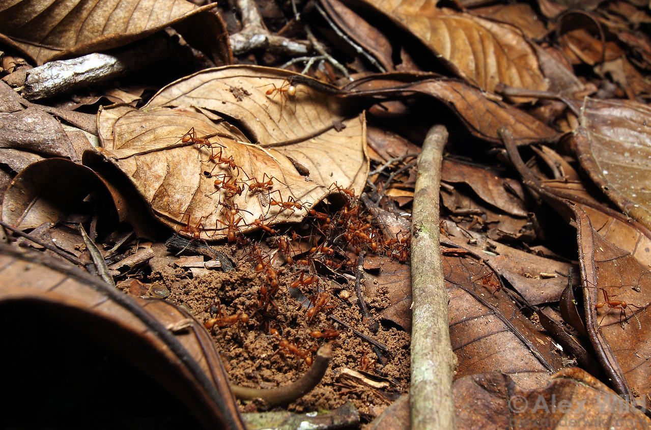 An Eciton hamatum raiding party has discovered an ant nest in the leaf litter and begin to dig in. This army ant species is a specialized predator on other social insects.