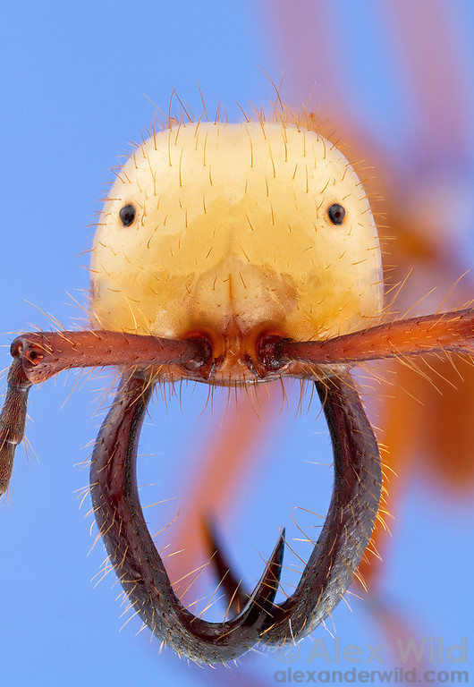 Eciton hamatum army ant soldier. This portrait is a composite of 64 photographs taken at different focal depths and stacked to produce an artificially sharp image. The unusual single-lens eyes are unique to this genus and may be the result of re-evolved vision from blind ancestors.