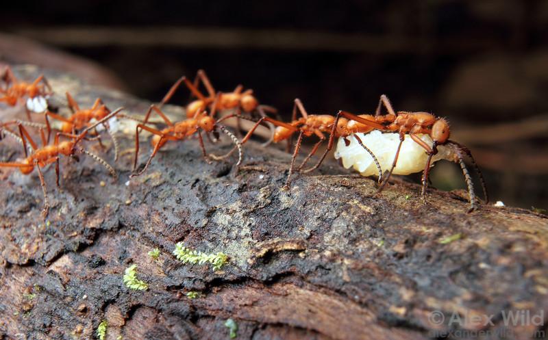 Eciton hamatum army ants carry captured prey back to their bivouac.  Jatun Sacha reserve, Napo, Ecuador