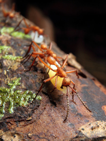 Eciton hamatum workers carry captured prey. This species preys on the brood of other social insects, especially bees, wasps, and ants.  Jatun Sacha reserve, Napo, Ecuador