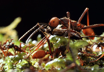 Eciton burchellii submajor carrying an earwig.  Maquipucuna reserve, Pichincha, Ecuador