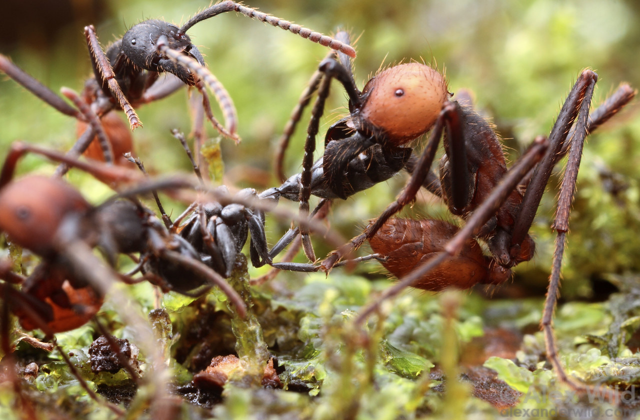 An Eciton burchellii submajor dismantles an unfortunate Pseudomyrmex worker.  Maquipucuna reserve, Pichincha, Ecuador