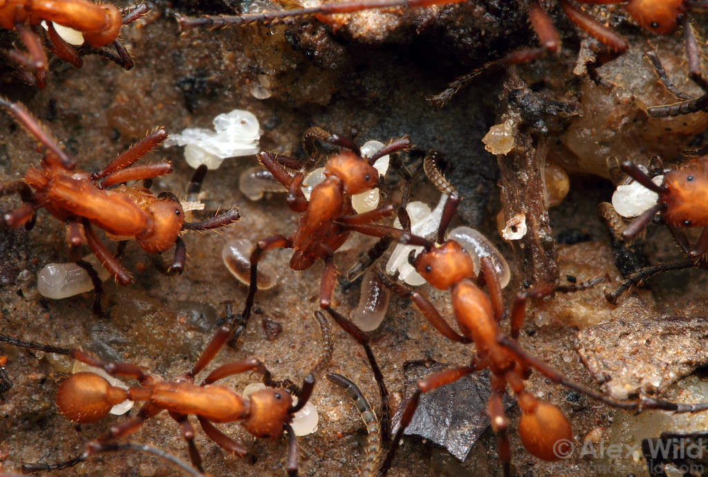 Along the margins of a raid, Eciton hamatum workers create a cache of captured ant brood.