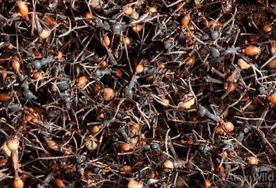 Eciton burchellii bivouac.  Maquipucuna reserve, Pichincha, Ecuador