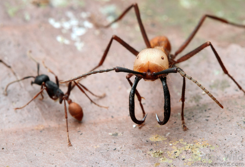 Eciton burchellii has one of the more complex caste systems among ants, with at least four distinct types of worker. Here, a media worker (at left ) passes a soldier.