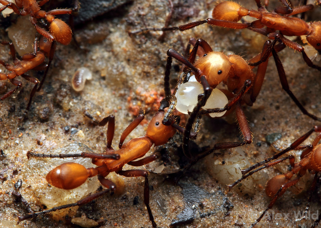 Army ants live such fast paced lives that they must feed regularly. Not all captured prey makes it back to the bivouac; here, Eciton hamatum workers lap up spilled hemolymph from a captured larva.  Jatun Sacha reserve, Napo, Ecuador