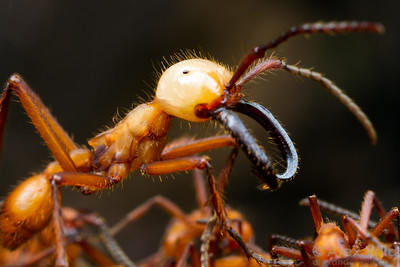 An Eciton hamatum soldier stands guard over a column of army ants returning from the front.  Armenia, Belize