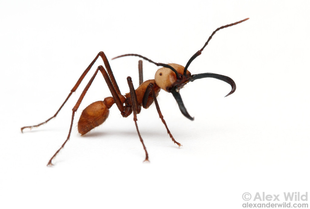 Eciton burchellii army ant soldier. The hooked mandibles are used to protect army ant colonies against vertebrate predators.