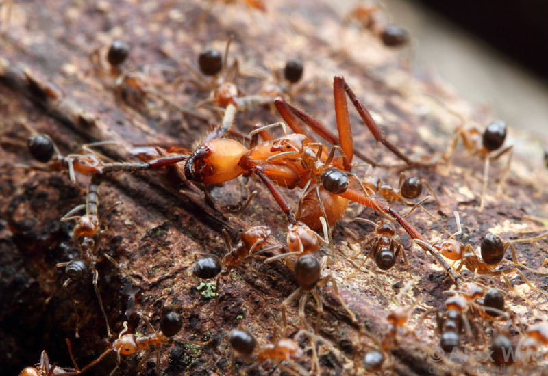 An Eciton hamatum army ant worker is pinned down by fierce little Azteca ants defending their territory.