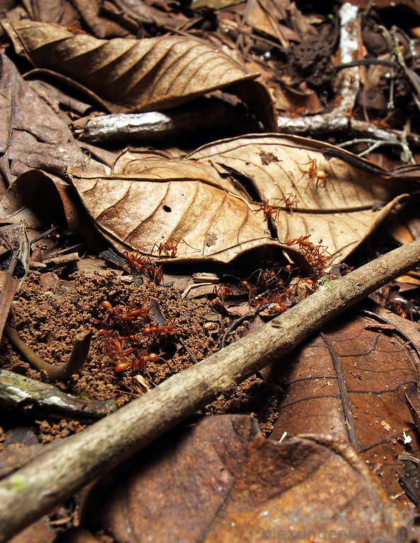 An Eciton hamatum raiding party has discovered an ant nest in the leaf litter, and workers begin to dig in. This army ant species is a specialized predator on other social insects.