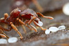 Eurhopalothrix : Eurhopalothrix is a predaceous myrmicine genus found in soil and leaf litter in tropical wet forests around the world. Little is known about the biology of these cryptic ants.