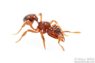 Eurhopalothrix gravis