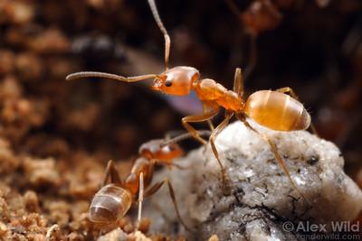 Forelius mccooki  Tucson, Arizona, USA