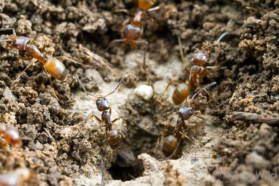 Forelius pruinosus carry excavated soil from their nest.  Konza Prairie, Kansas, USA