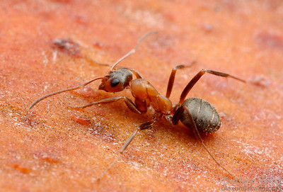Formica moki is one of the most commonly encountered ants in mid-elevation California.  Mt. Tamalpais, Marin Co., California, USA