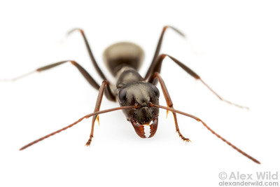 Formica subsericea, the silky field ant, is one of the most common insects in eastern North America.  Urbana, Illinois, USA