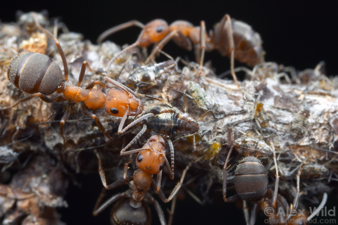Formica integroides workers tending pine aphids.  The ants obtain a large portion of their energy from symbiotic relationships with hemipterans such as these aphids.  Sagehen Creek, California, USA