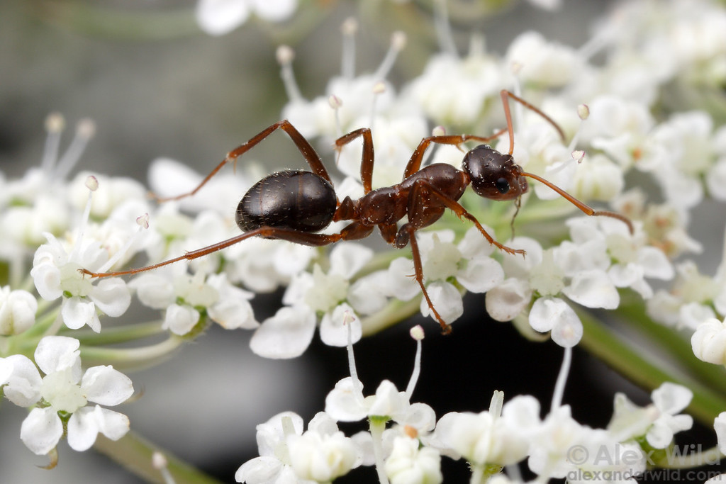 Formica pallidefulva. Ants as earthbound creatures are not ideal pollinators, but they can carry pollen over short distances.   Champaign, Illinois, USA