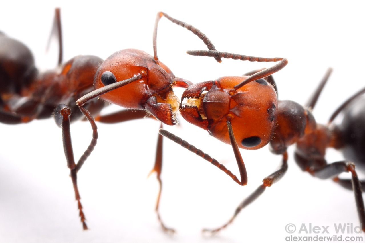 Formica obscuripes nestmate workers engaging in trophallaxis, or the social sharing of liquid food.  This behavior does more than merely transfer food.  Ants also use it to pass chemical signals among each other, and research has shown that trophallaxis helps the colony maintain a cohesive identifying odor.  Wisconsin, USA