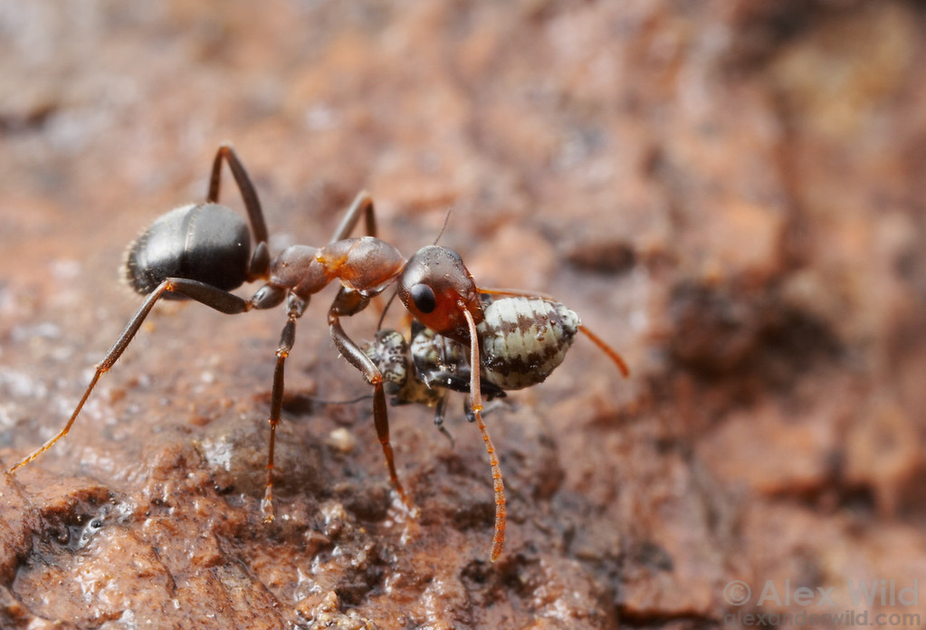 Formica gnava foraging worker carrying a bark louse it has caught.  Chiricahua Mountains, Arizona, USA