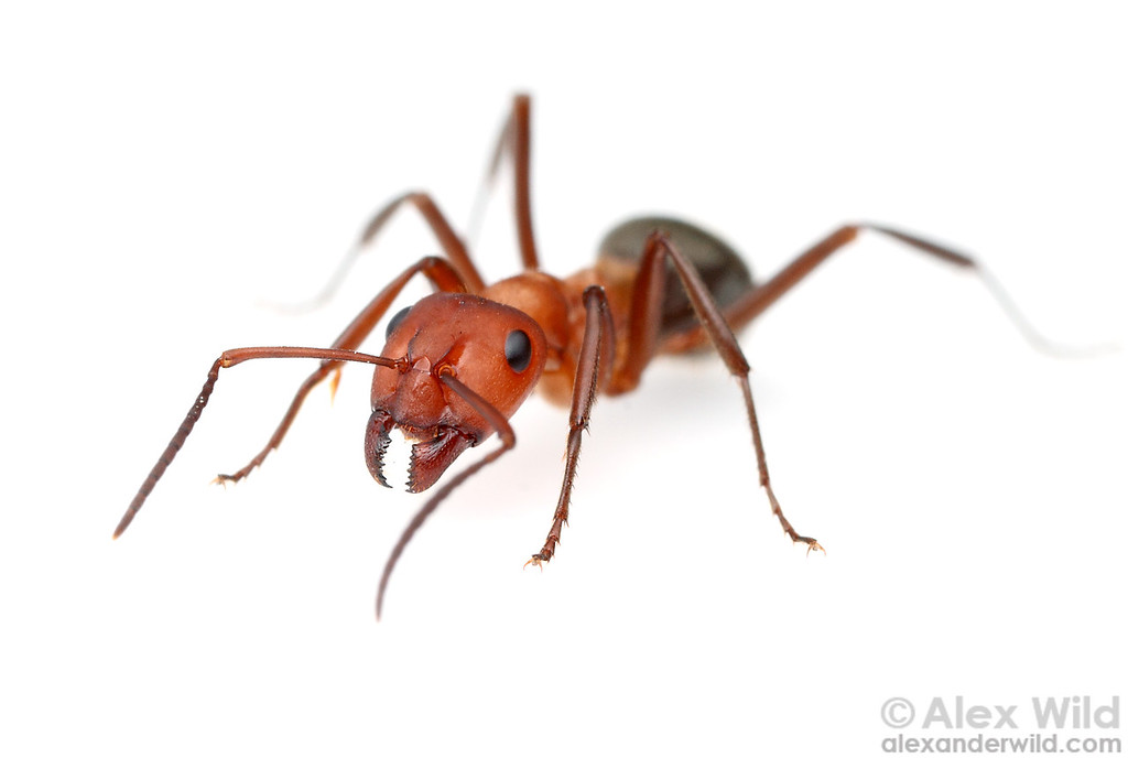 Formica rubicunda slave-raiding ant.  Gray Summit, Missouri, USA